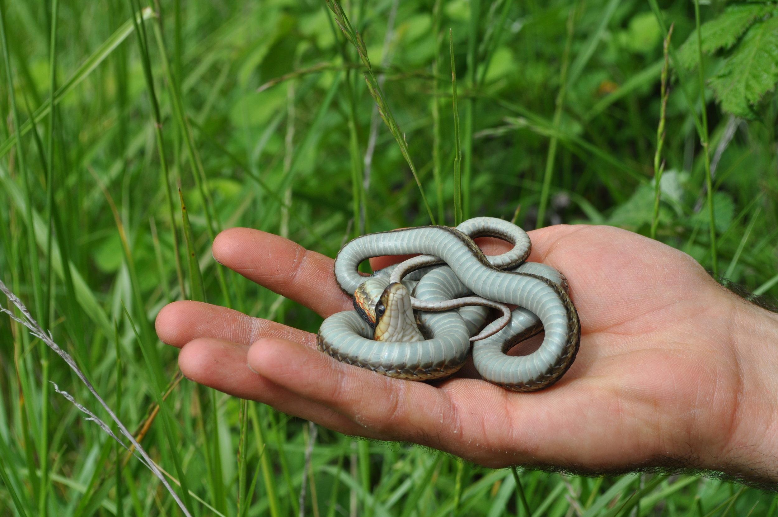 Mountain Garter Snake photo by Peter Kleinhenz