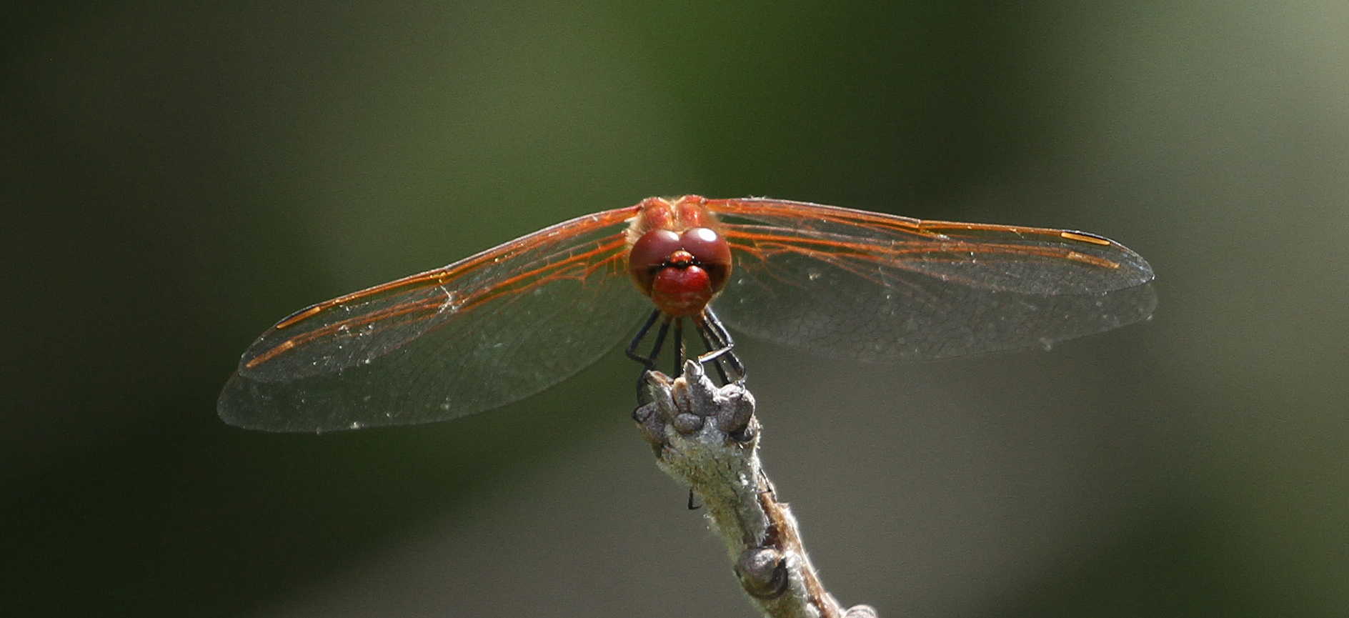Red-veined Meadowhawk photo by Norm Barrett