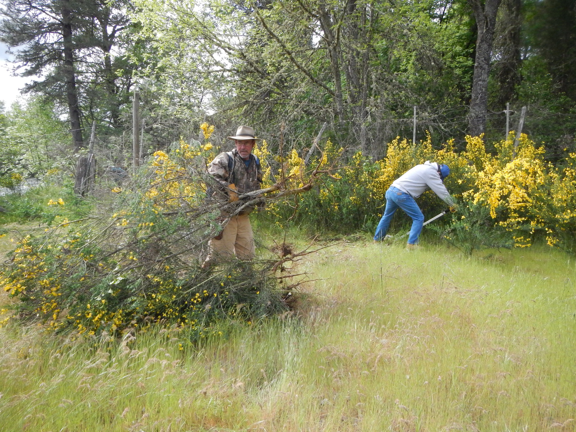 Doing the good work removing invasive Scotch broom, making room for more native oak trees and wildflowers.