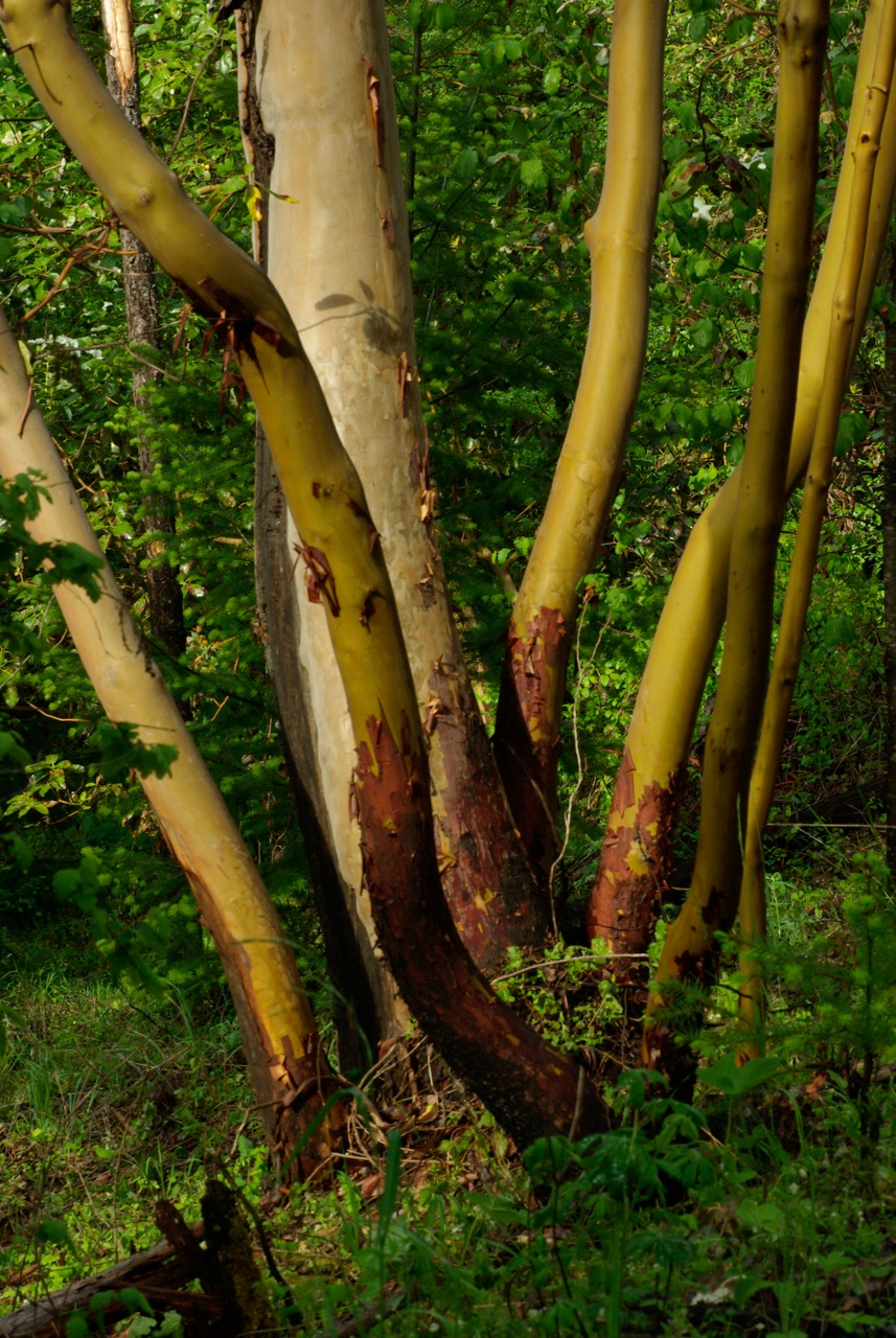 Legacy madrone
