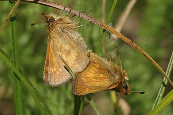Mardon skipper butterfly. Photo by Tom Kogut, U.S. Forest Service