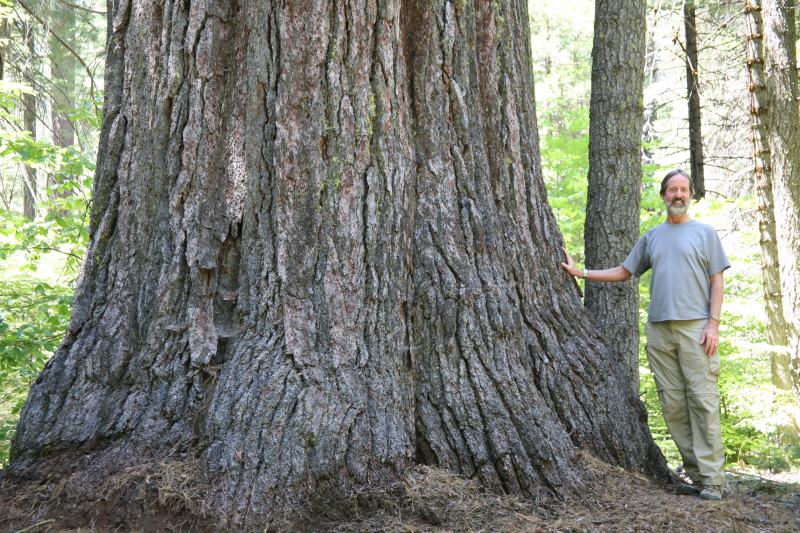 This sugar pine, found in California, made it on the list of American Forests Champion Trees in 2016. It is the largest known tree of its species in the country. Check out  Champion Trees National Register  to view more champions and submit nominees.