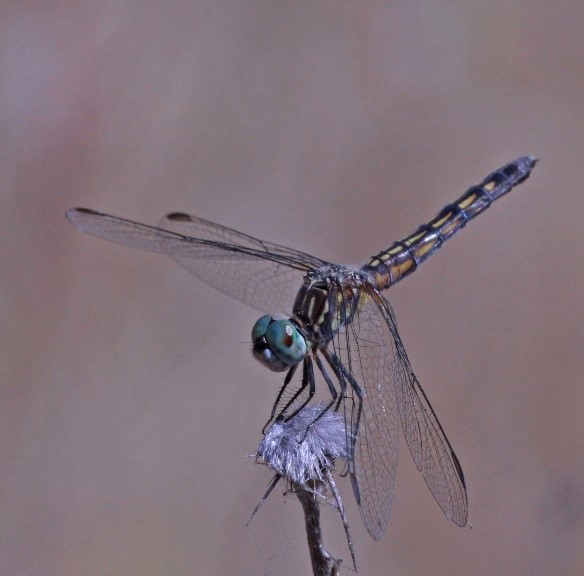 BLUE DASHER Female_NormBarrett.jpg