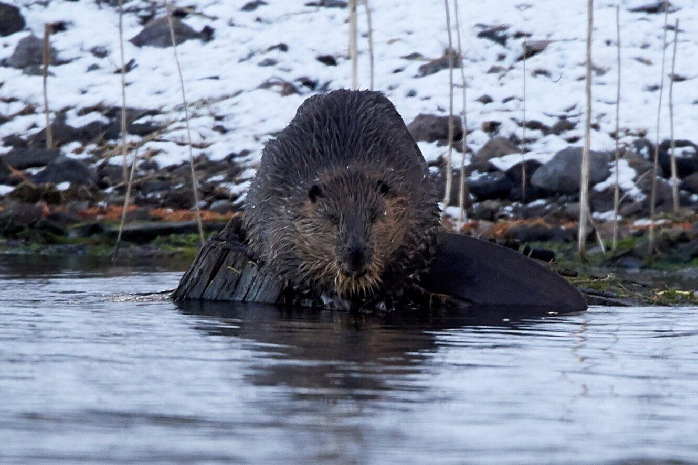 Beaver photo taken by Frank Lospalluto