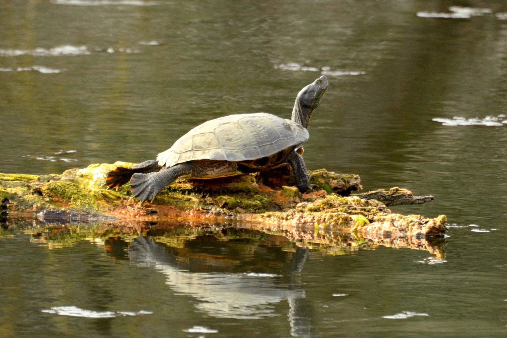 Western Pond Turtle photo (and banner photo) by Frank Lospalluto