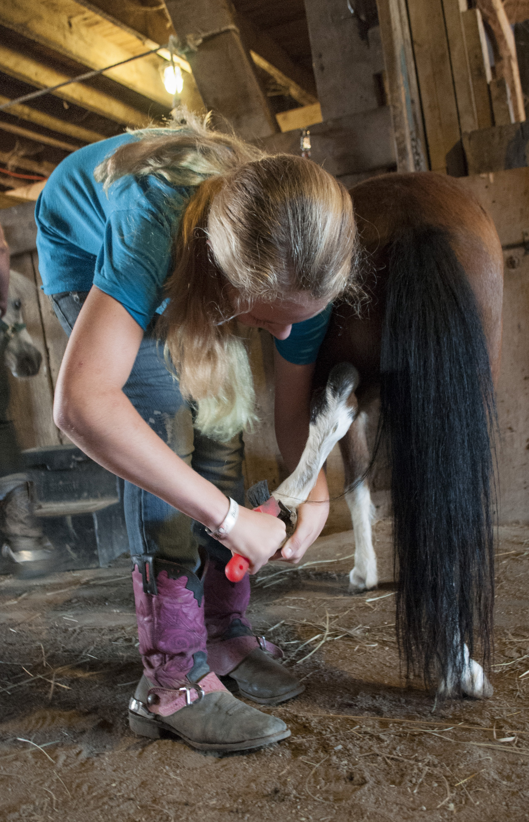Peyton Tiedtke cleans the hooves Butterscotch of any rocks and debris after taking him on a run around the farm. Any debris that is not regularly cleared from the hooves of the horses and ponies has the potential to harm the animals (Sept. 5, 2014).
