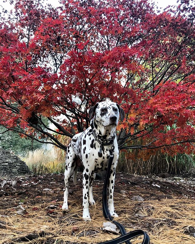 Chai is looking ever so fabulous with this gorgeous backdrop! 🍁⭐️🖤🍁⭐️🖤🍁⠀ ⠀ .⠀ .⠀ .⠀ .⠀ .⠀ #petzeppelincle #dogwalker #dogwalk #cleveland #clevelanddogwalker #clevelanddogwalk #clevelanddogwalks #petsitter #clevelandpetsitter #clelife #clevelandgram #thisiscle #clegram #dogsofcle #dogsofcleveland #cledoglife #216 #inthe216 #216dogs #dogsof216 #theland #clevelanddogs #tremont #ohiocity #lakewood #downtowncleveland #cledogs #clepets #welovedogs #clevelandrocks
