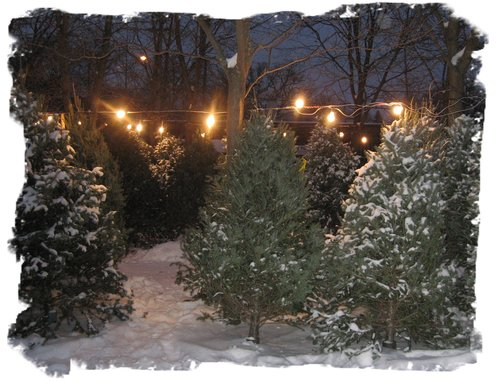 kerstbomen1.jpg
