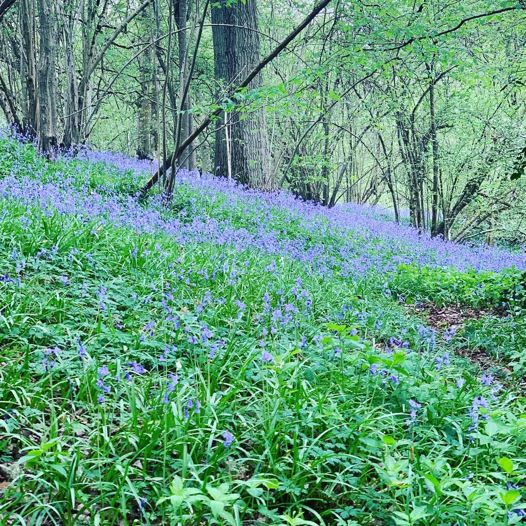 Bluebell woodland, magical in spring
