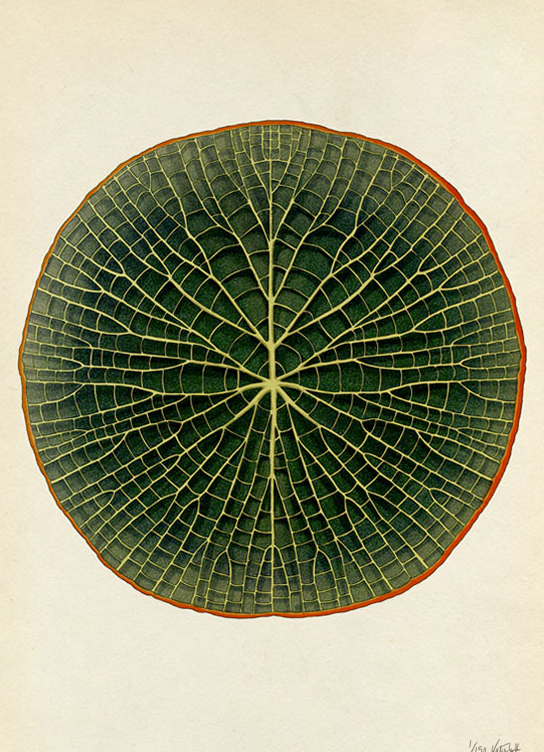 CH7. Adapting to Environments. The giant waterlily
