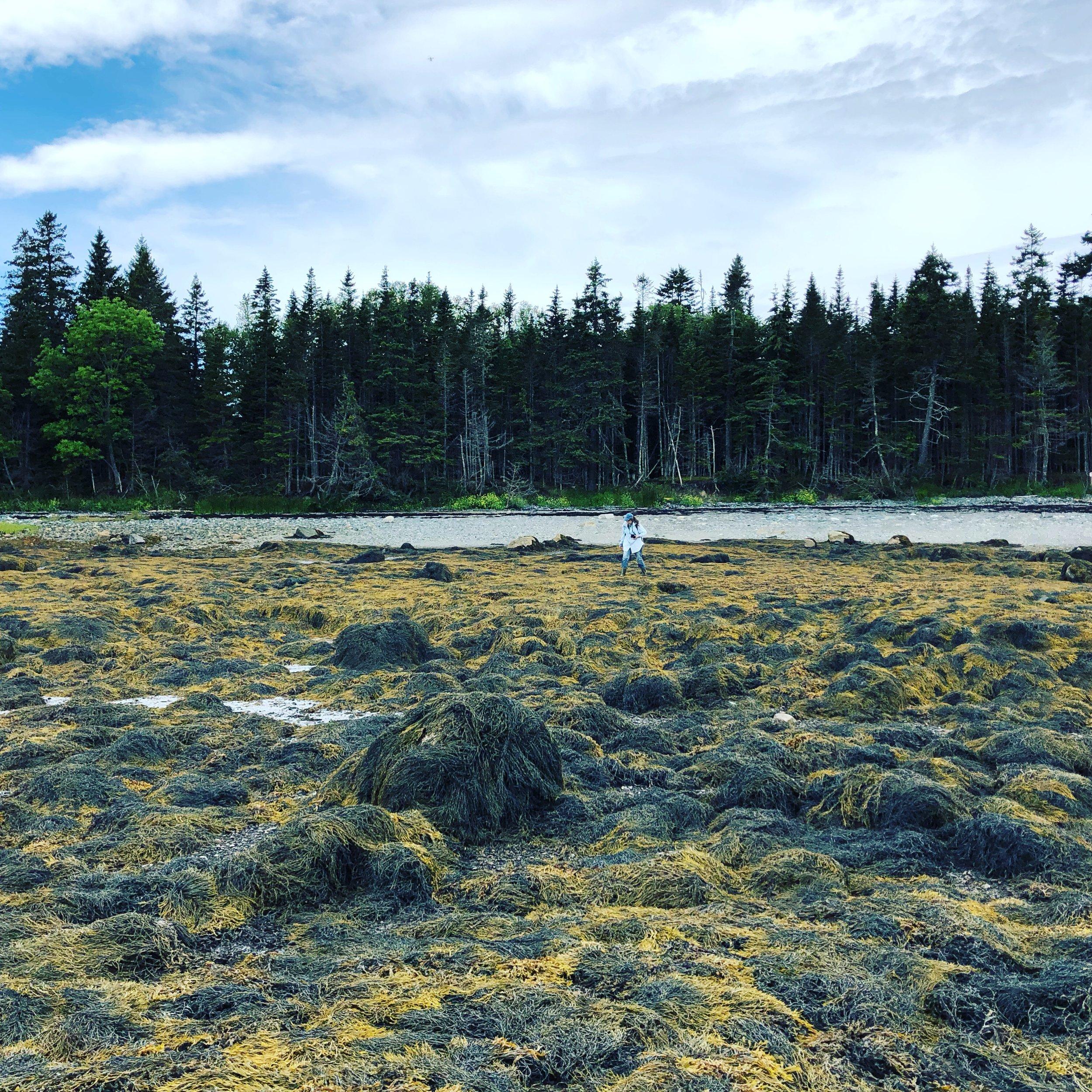 Roque Bluffs rockweed