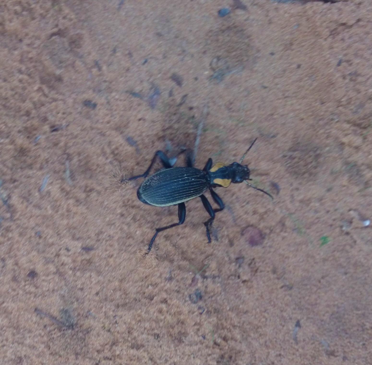 """Oogpister"" Termophilum  burchelli, from Tembe Elephant Park"
