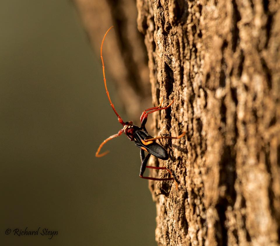 The beautiful longhorn beetle  Compsomera elegantissima . Picture taken by Richard Steyn, thanks Richard!