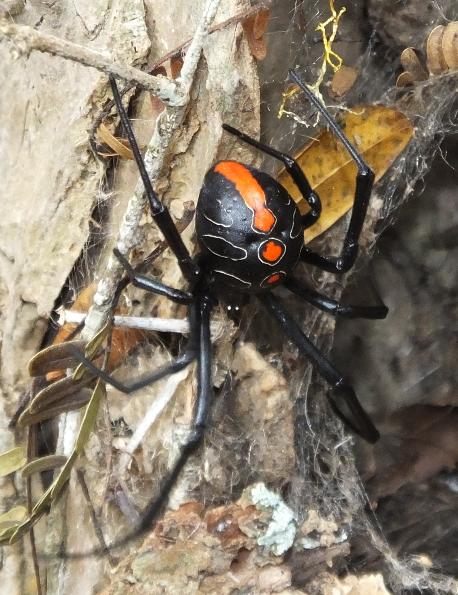 Young mature female Phinda button spider from Phinda, showing dorsal markings with red colours not yet faded and white dorsal circles filled red.