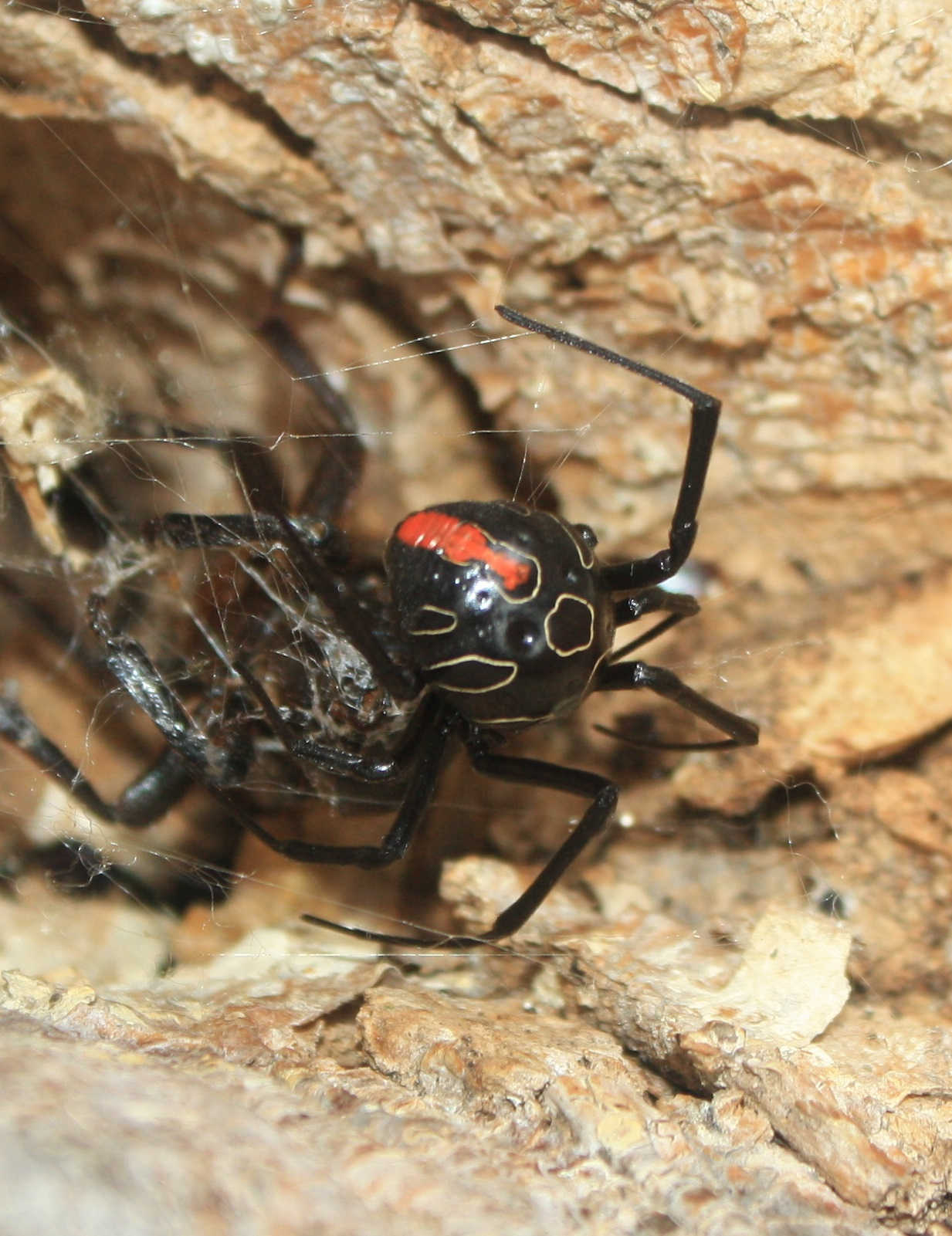 Old mature female Phinda button spider from Tembe, with red dorsal markings faded and white circles prominent, and dorsal circles filled black.