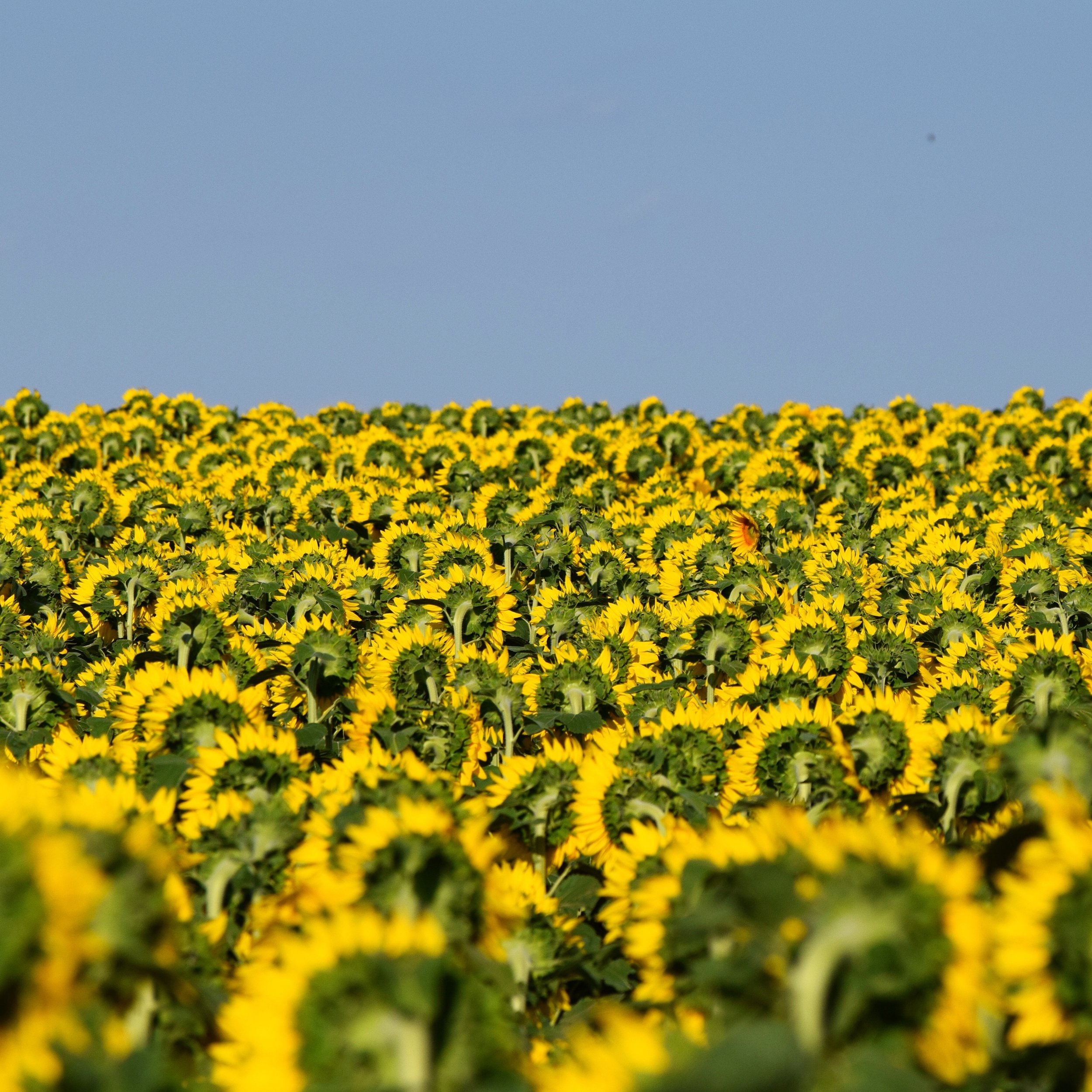 South Dakota sunflower fields