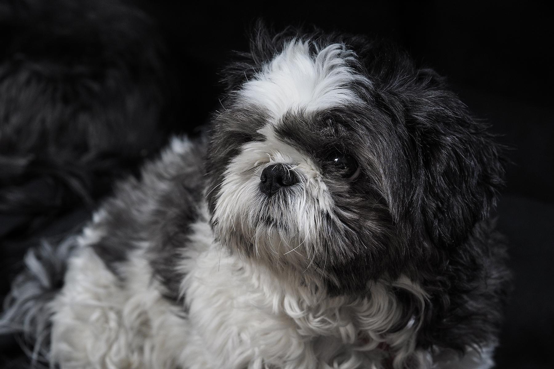 Dog Photography- Little Miss Sohpia