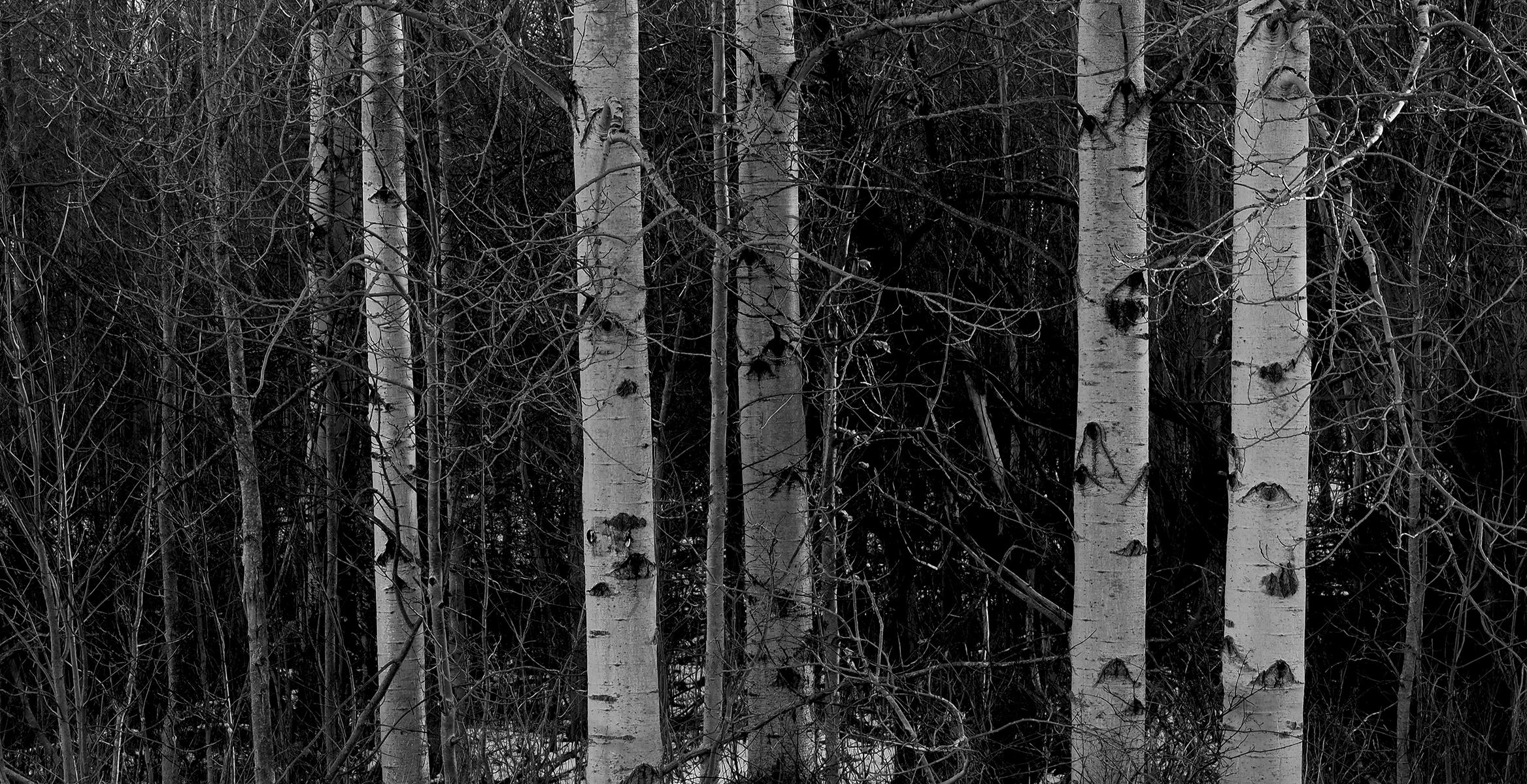 Birch Trees Waterloo County.jpg