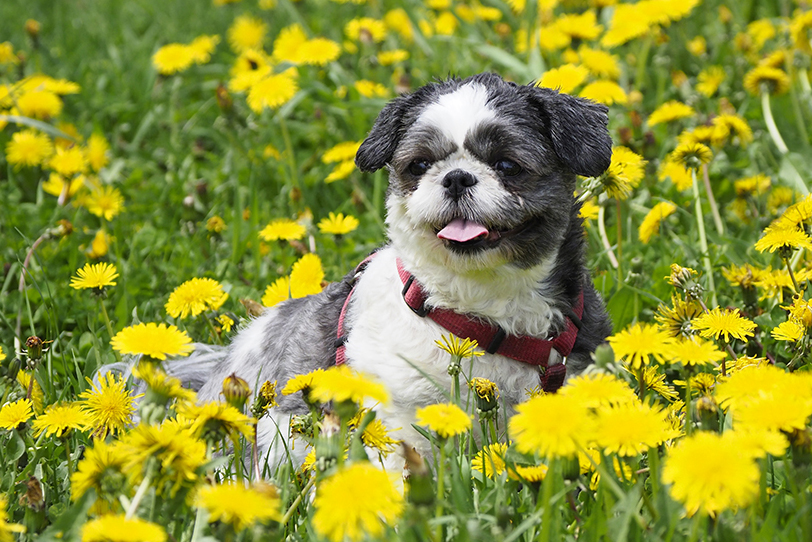 dog photography dandelions