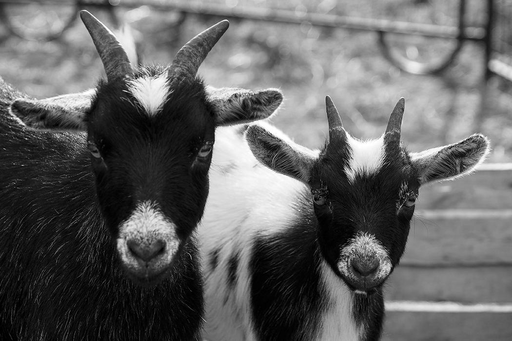 goat photography susan Arness