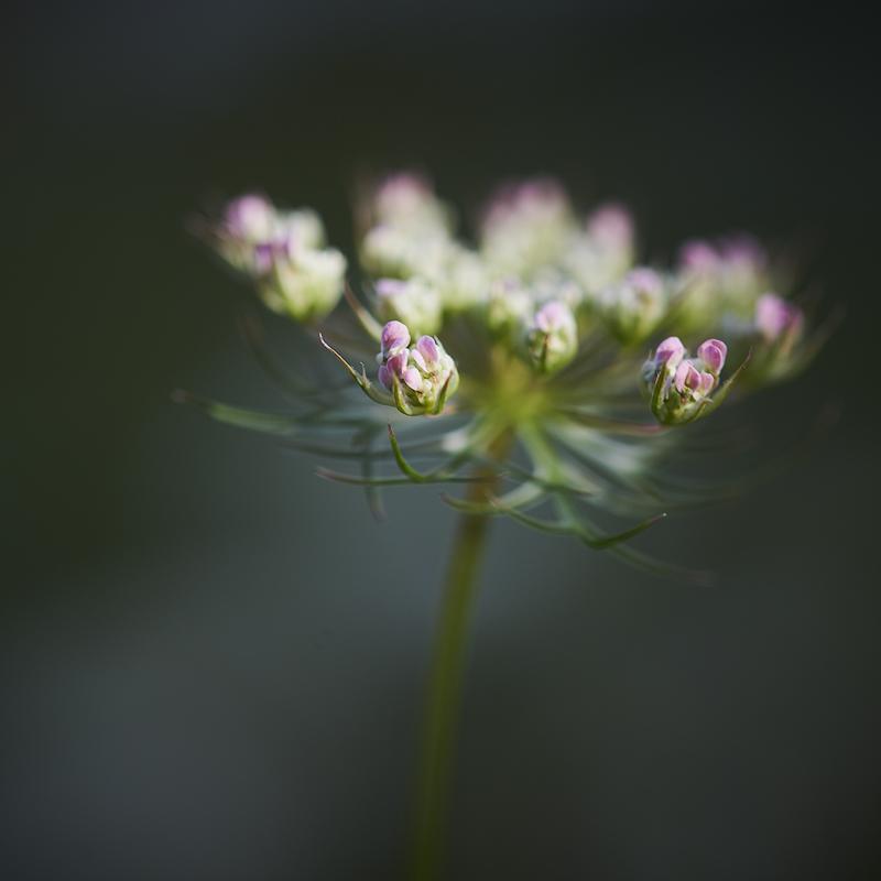 Schafgarbe - Blütenknospen