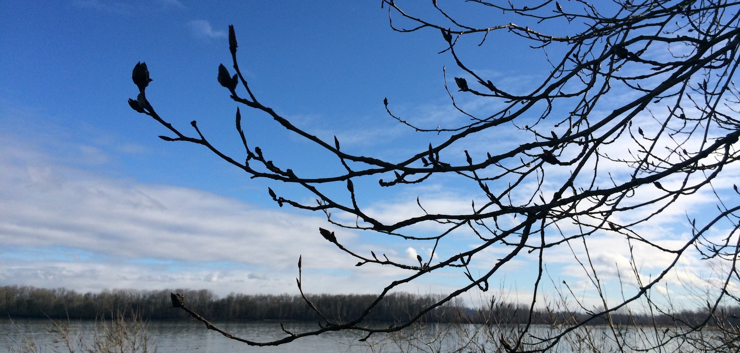 Winter poplar buds.jpg