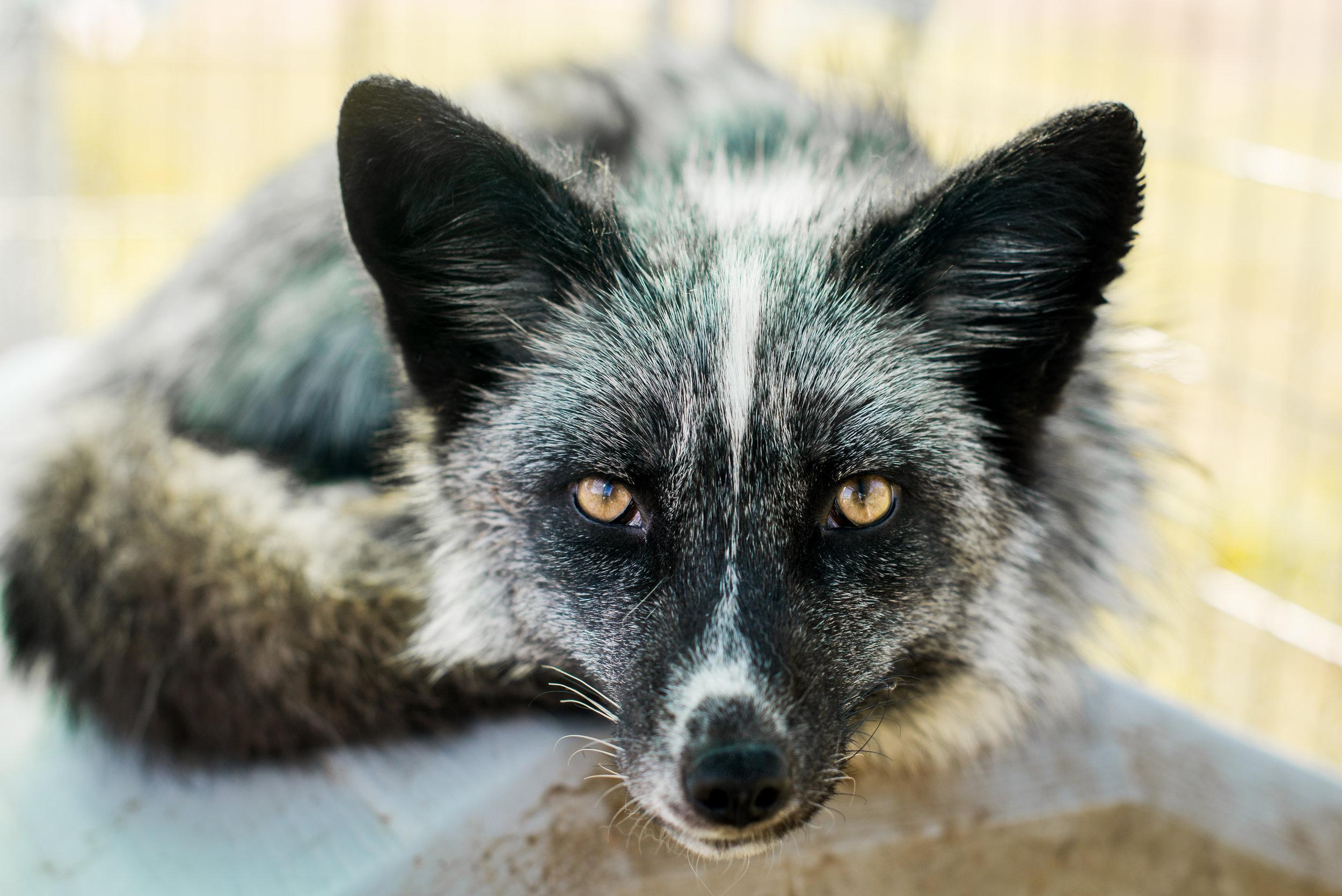 white-mark marble fox