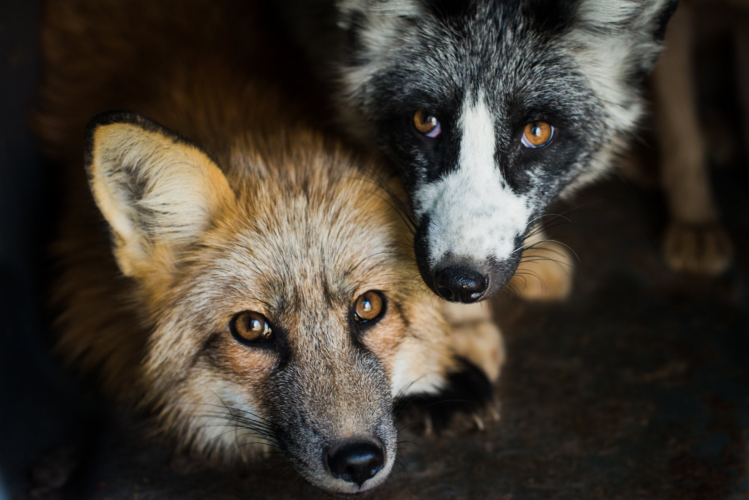 red fox and marble fox