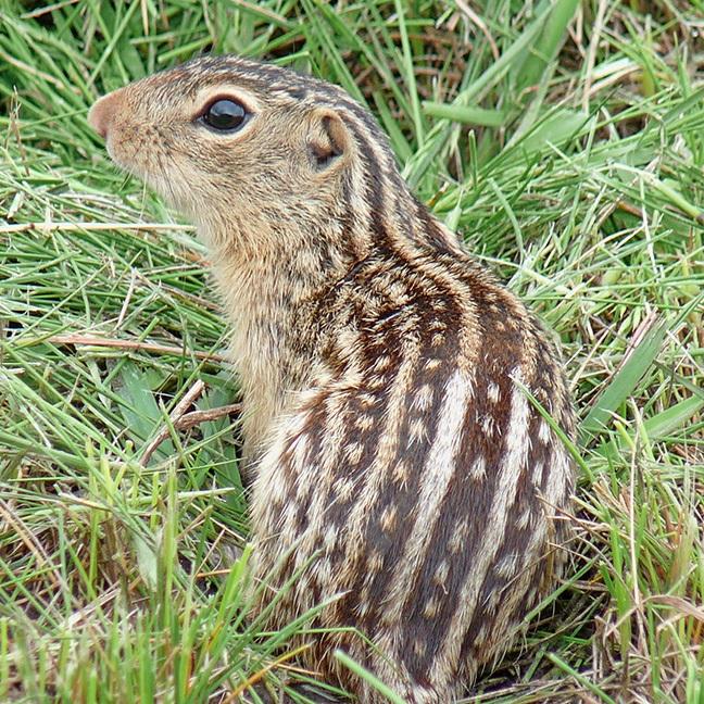 13 Lined Ground Squirrel -
