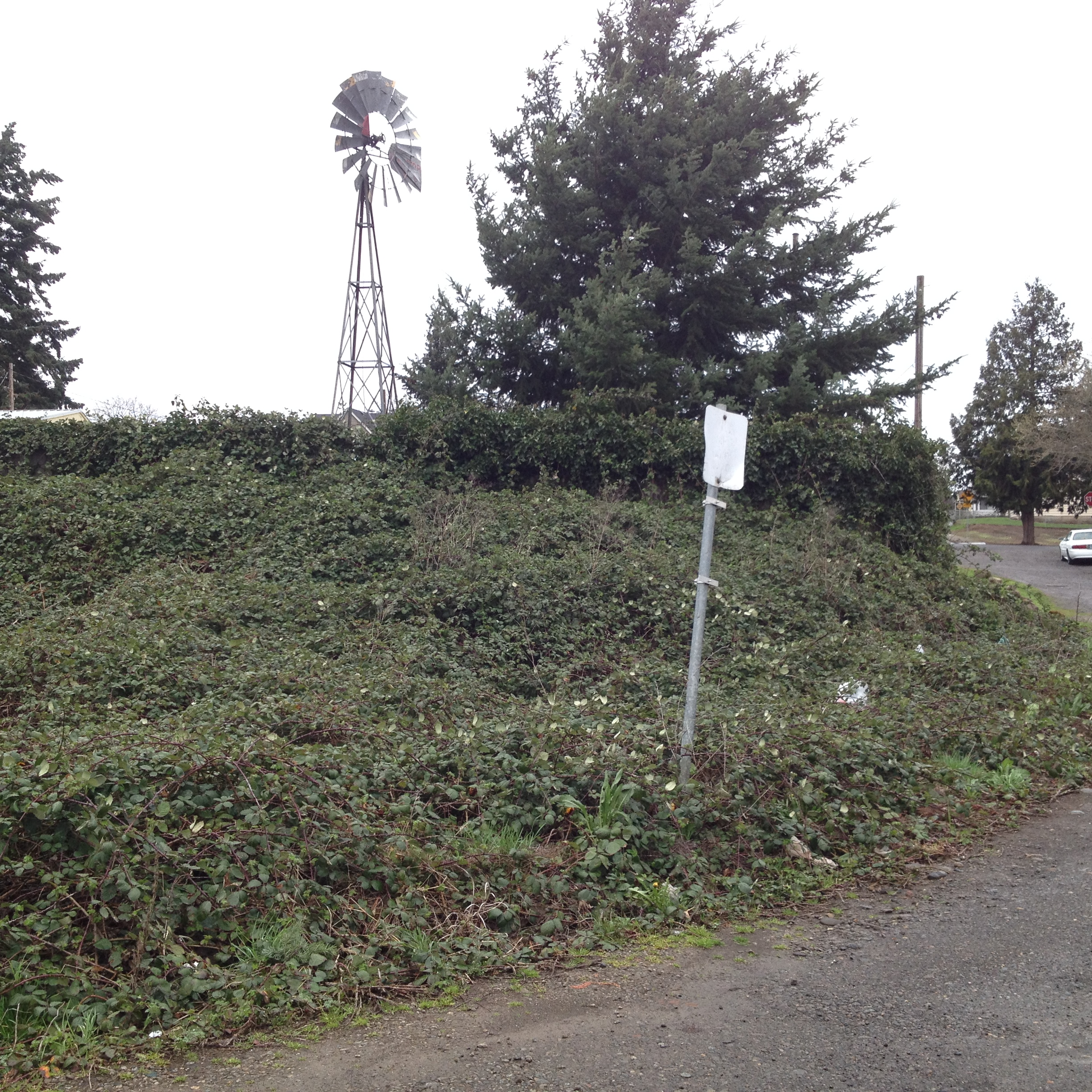 This 1/2 acre site was very overgrown with blackberry bramble and garbage from years of illegal dumping.