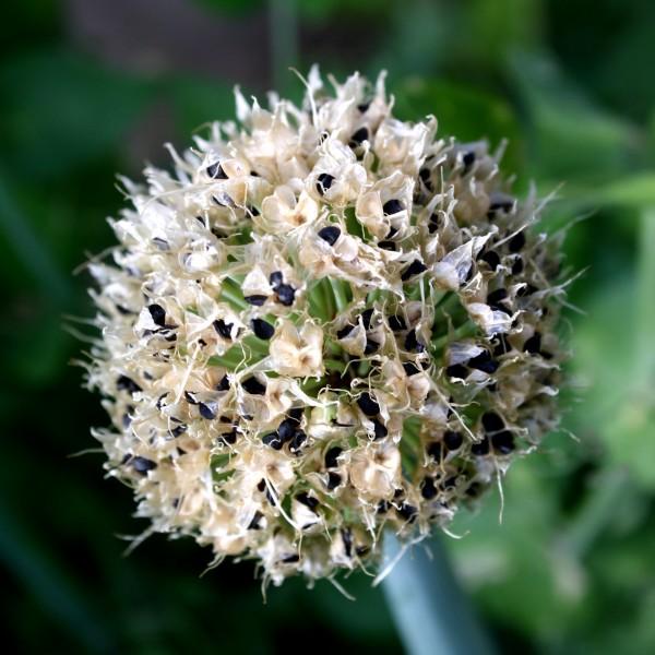 onion-seed-pods.jpg