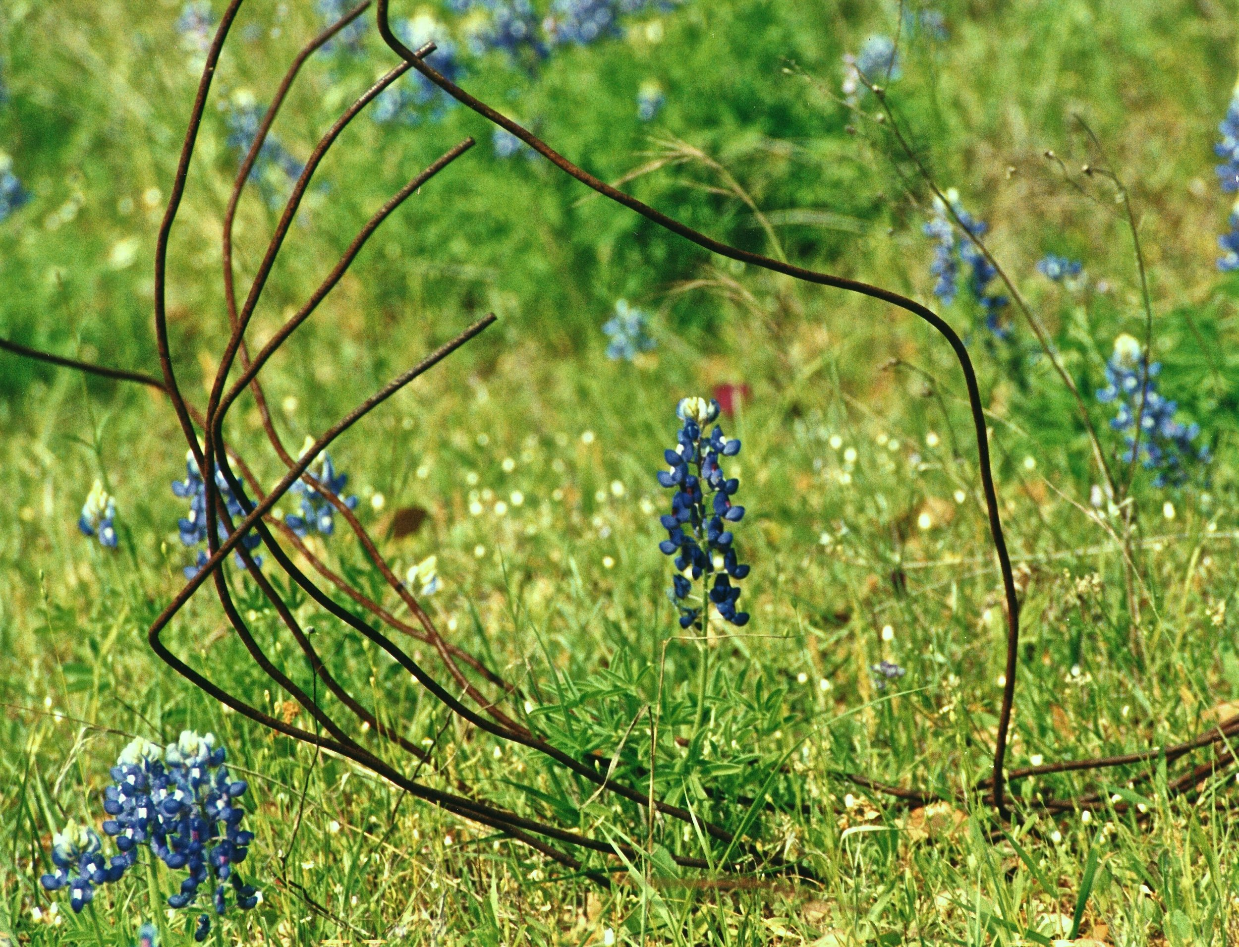 A Unique and Natural Bluebonnet Frame from the Willow City Loop…
