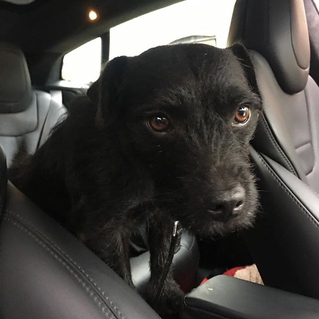 Tigger looking sad & a tad mischievous. . . . #dog #dogsofinstagram #terrier #borderterrier #patterdaleterrier #borderpatterdale #lincolnshire #lincolnshirewolds #tesla