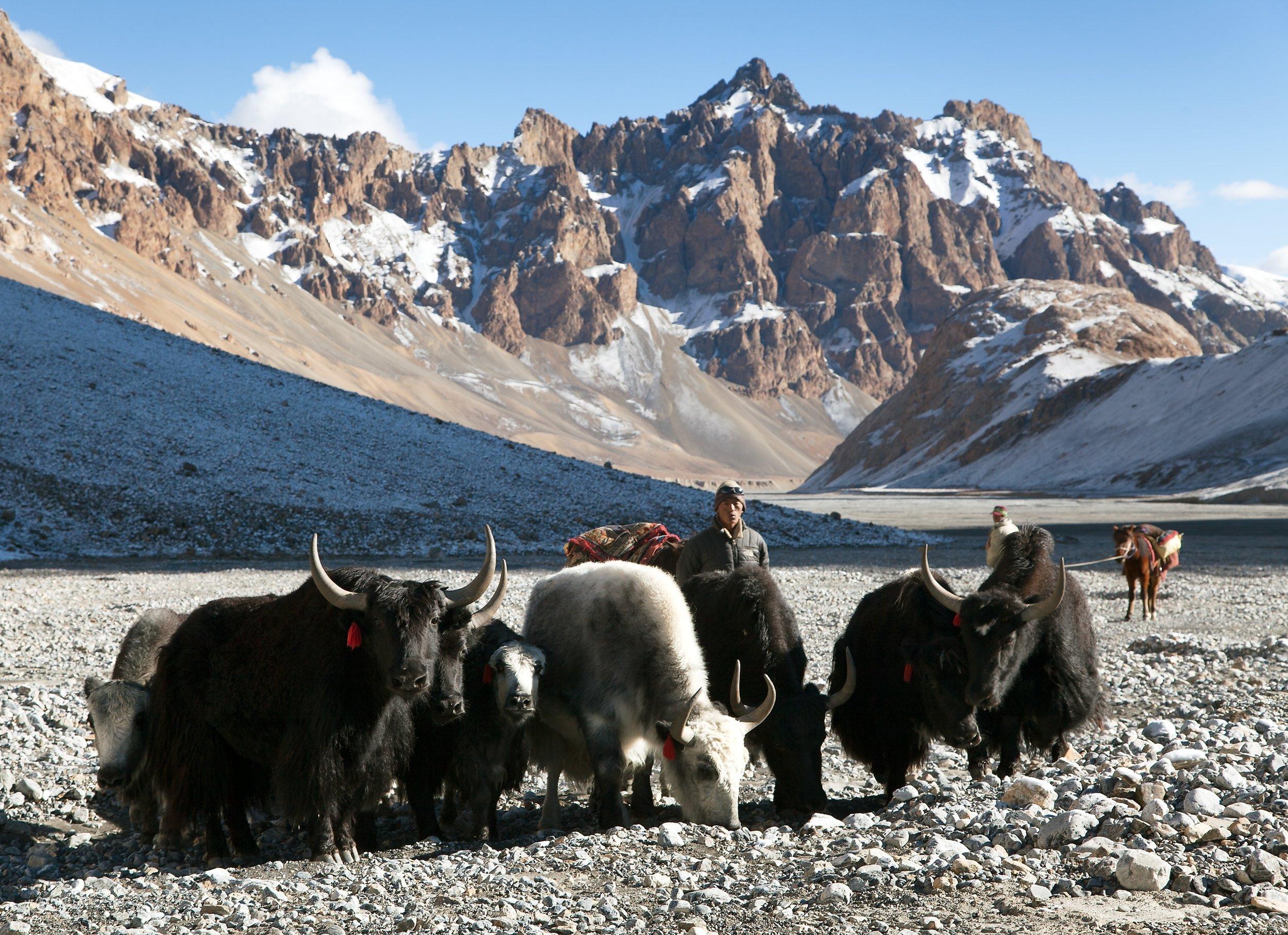 Yak in Ladakh, India