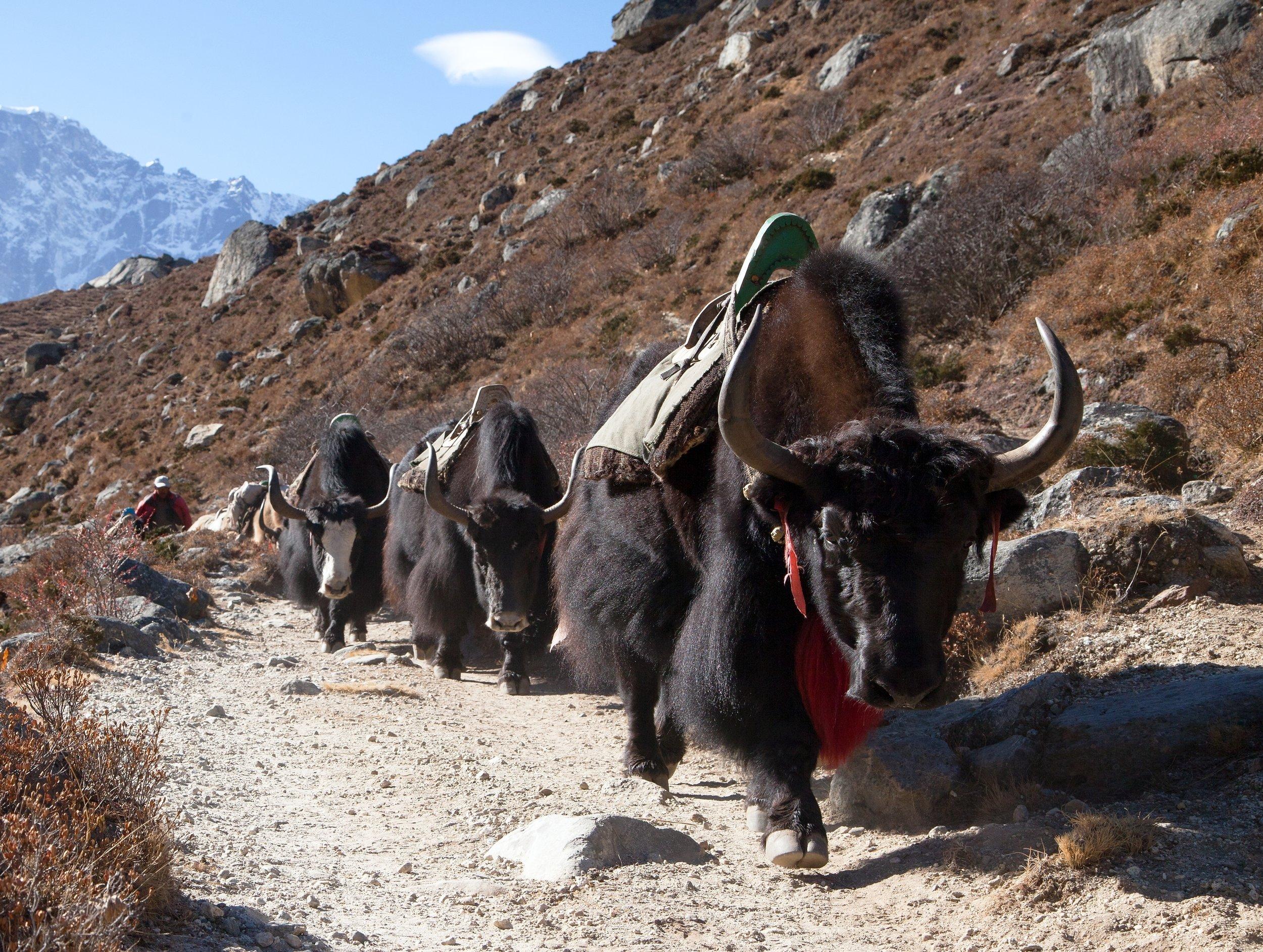 Yak in Khumbu valley, Nepal