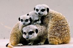 Meerkats_(14)_tb.JPG