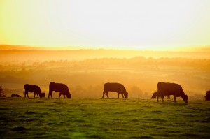 cows-at-sunset-for-about-us-300x199.jpg