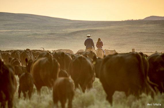 cattle_herd_ranchers_Ami_Vitale_570x375.jpg