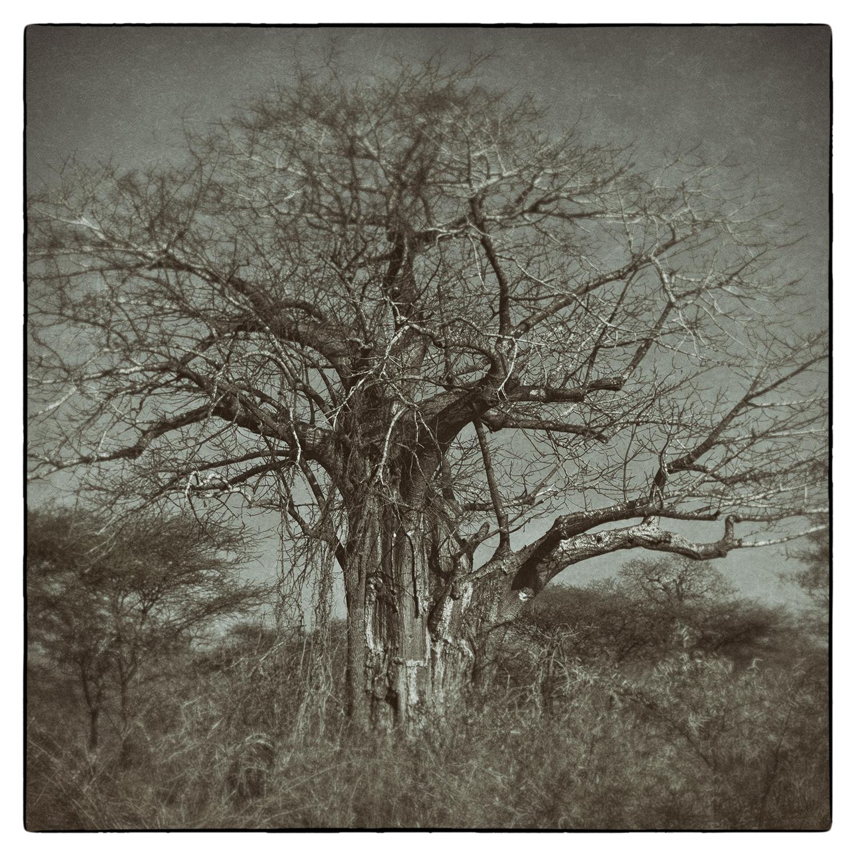 2_Old African Tree.jpg