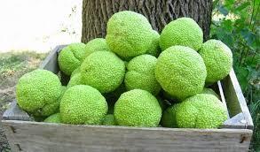 Hedge Balls 2.jpg