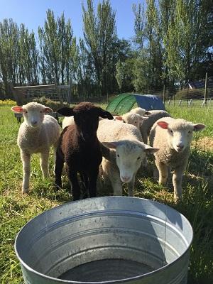 ofs sheep sm.jpg