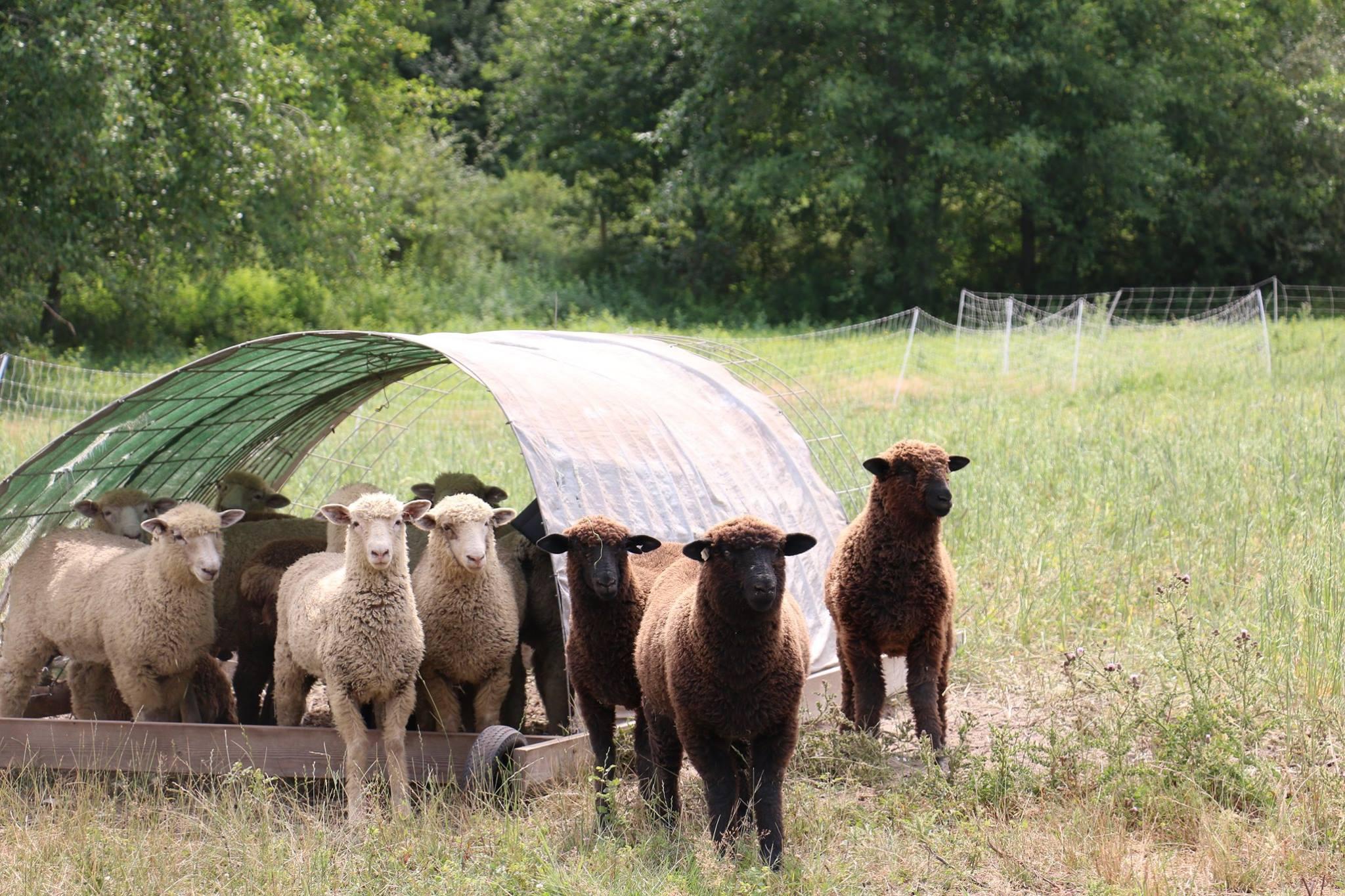 sheep on farm july 2018.jpg