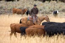 cattle_pushing-223x148.jpg