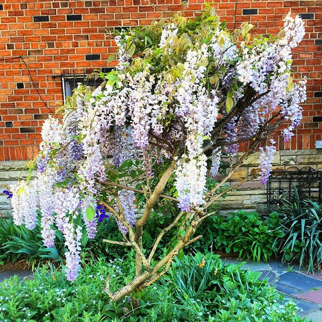 When you spot some beautiful flowing #wisteria, you just have to slow down 🤩