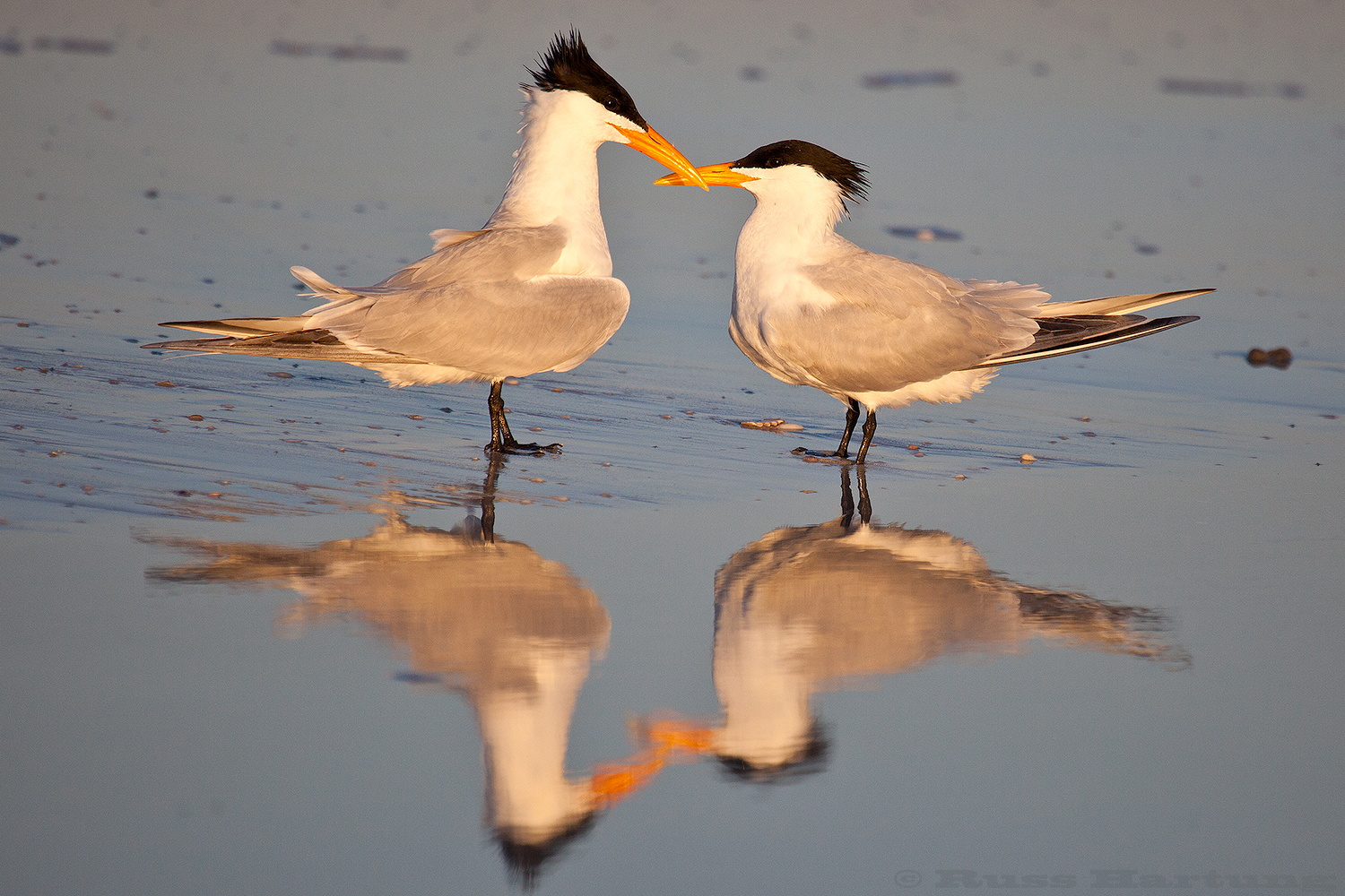 """Royal Tern Couple"" - Juried Selection - Darkroom Gallery ""Love"" Photo Contest"