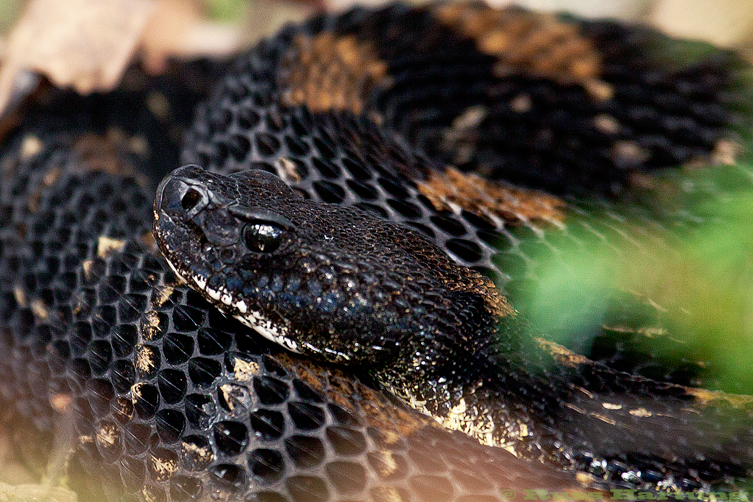 """Rattlesnake Near Westport, NY"" - Honorable Mention - Adirondack Life Magazine Photo Contest - 2014"