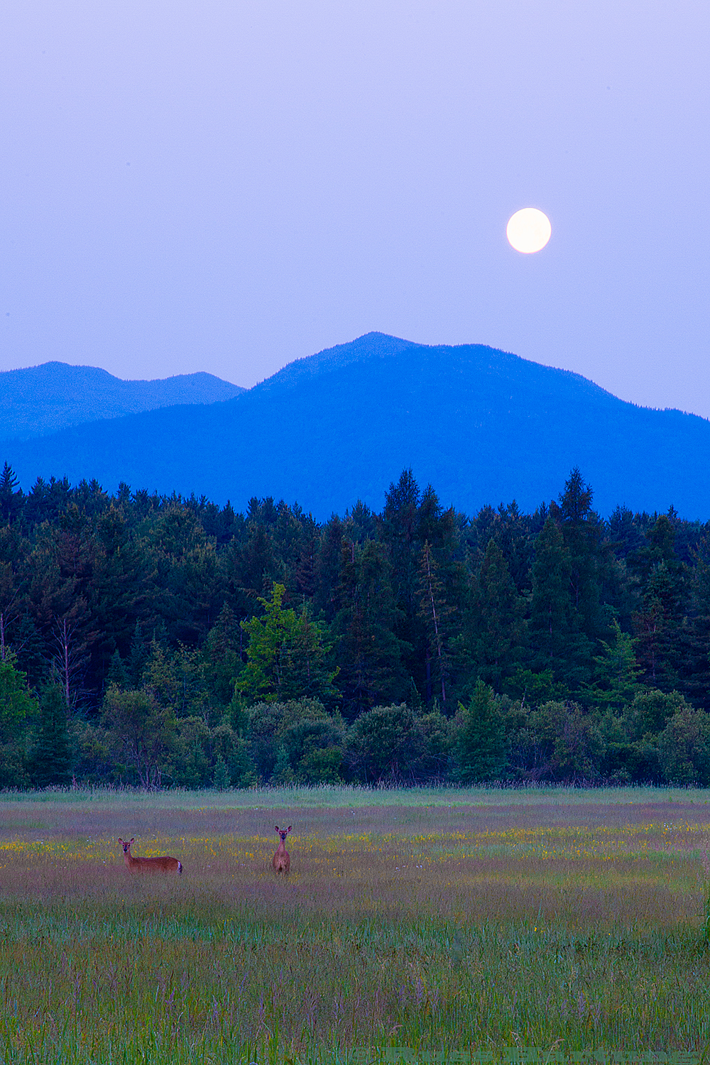 The Moon is setting just before sunrise over a meadow as two deer look up from their breakfast.