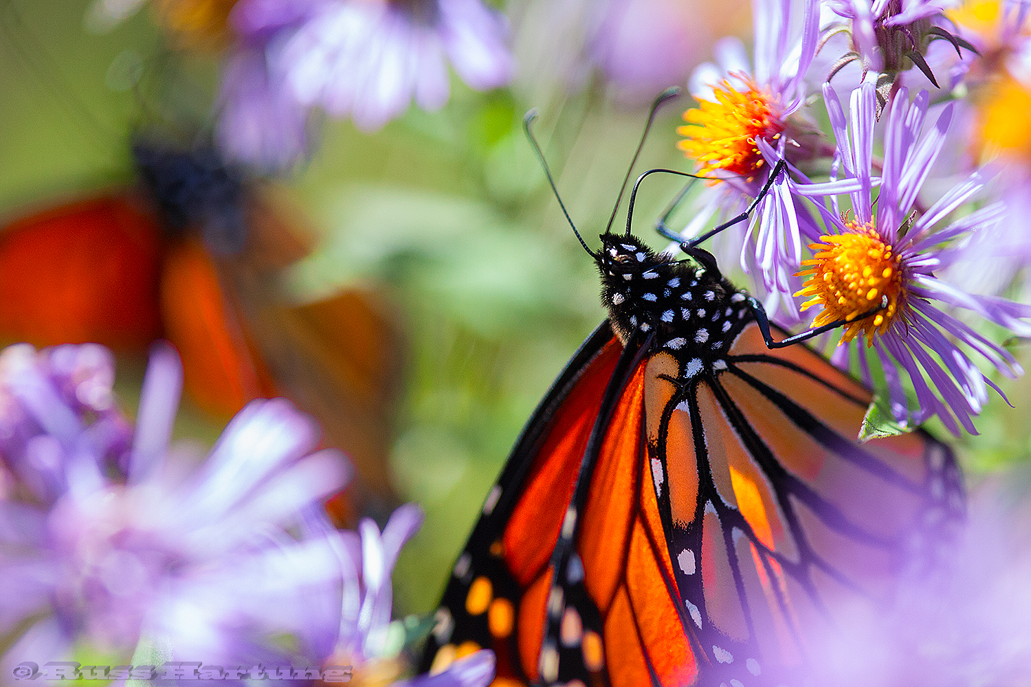 Two Monarch Butterflies. I saw these two on some flowers at the edge of the woods on my way to Indian Lake.