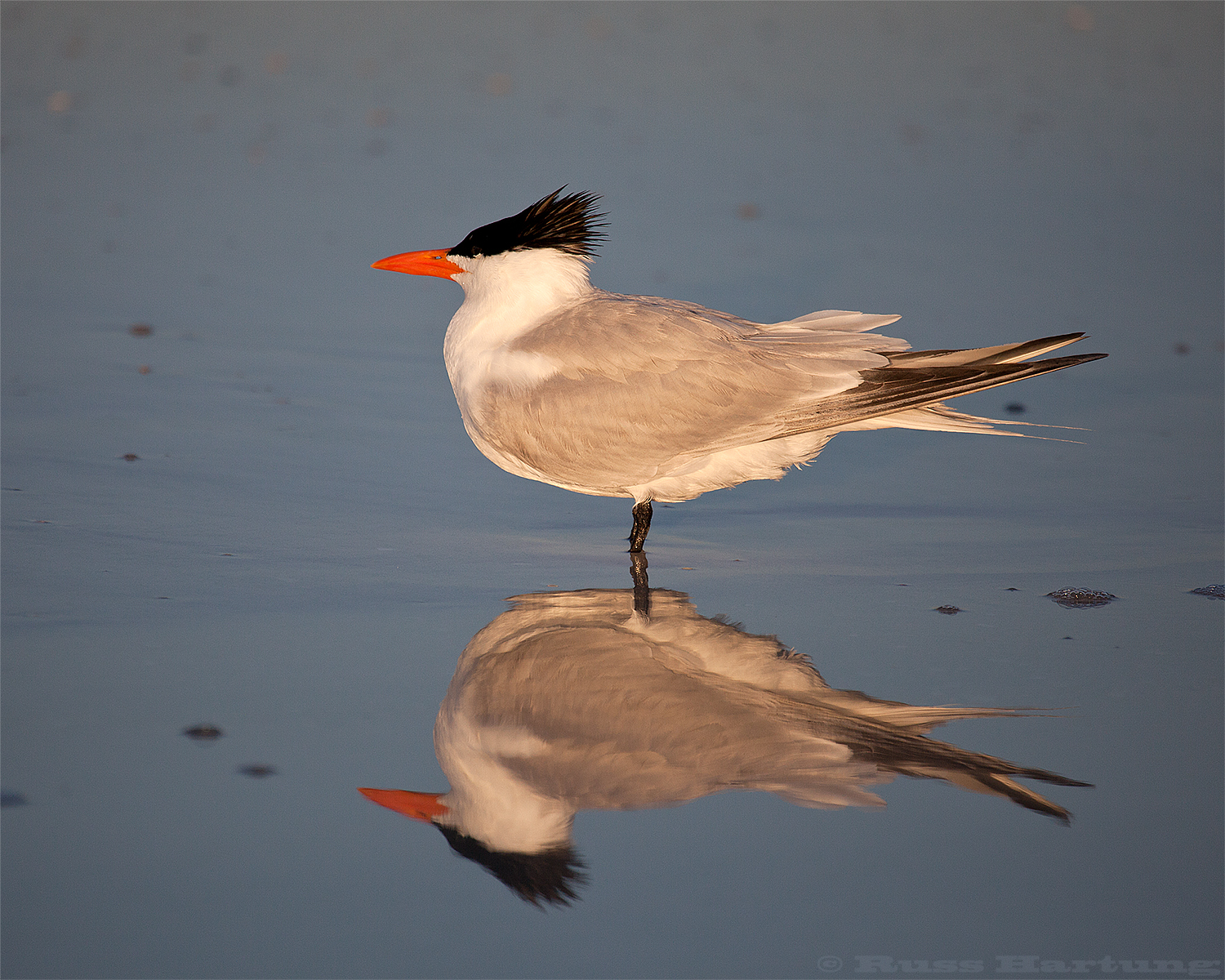 Royal Tern. Sunrise on Anna Maria Island, Florida.
