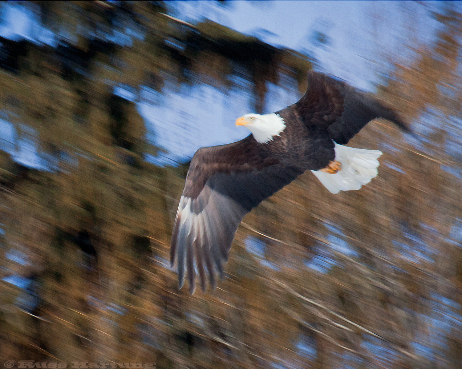 Bald Eagle in flight. I followed this eagle for about an hour. Finally some ravens chased him from his perch and he flew right over top of me.